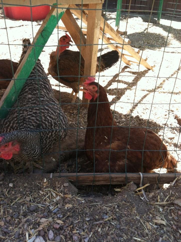 Hot chickens