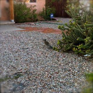 roadrunner by cactus