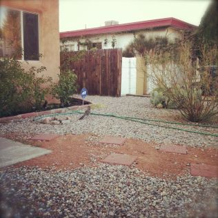 roadrunner in yard