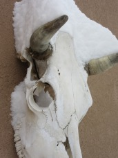 Snow on a cow's head? How is this not a win?